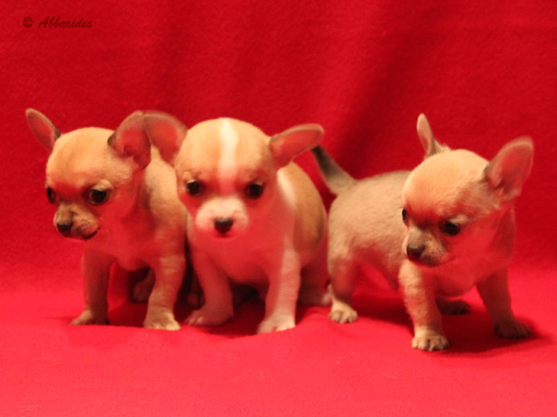Chihuahuas disponibles (cliquer ici)